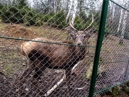 A young noble reindeer with horns stands in the confinement and looks into the camera. Royal stag in the reserve close-up, in the background other deer and coniferous forest with birches 版權商用圖片