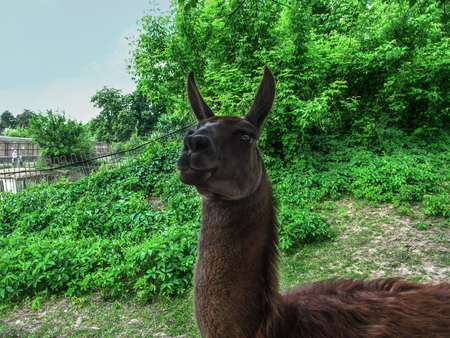 A bright portrait of a llama - guanaco close-up. Cute head of a dark brown cuddly Lama glama stares into the frame on a background of juicy spring-summer greens Stock Photo