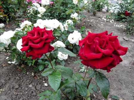 Two beautiful dark red roses on the stems grow in the garden. Photo of the burgundy roses of the Black Baccara variety on the background of flowering shrubs on the flowerbed