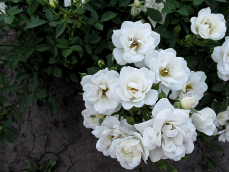 Bouquet of gently white elegant rose inflorescence Guirlande d'Amour variety. Beautiful pure innocent flowers can become an element or background for the design of wedding cards Banco de Imagens