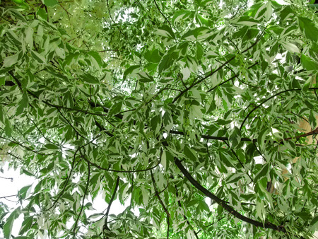 Beautiful natural abstract green background of the ash-leaf maple  foliage. Two-color Acer negundo leaves create an amazing spotted pattern