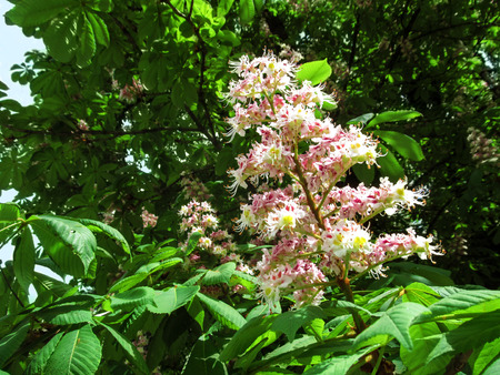 The erect panicle of horse chestnut with pink-white flowers on a background of green foliage. Natural background with beautiful lush flower of Aesculus hippocastanum in environment