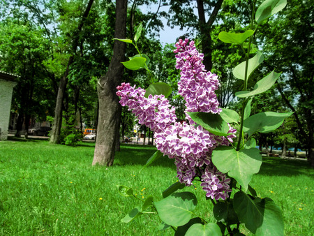 A twig of two-colored Syringa vulgaris Sensation in the background of the park. Beautiful bright inflorescence of white-mauve lilac florets on a sunny spring day