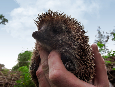 Cute spiny hedgehog in a human hand isolated against a blue sky. Beautiful portrait of a brown wild West European hedgehog close-up, selective focus on a blurred background Stok Fotoğraf