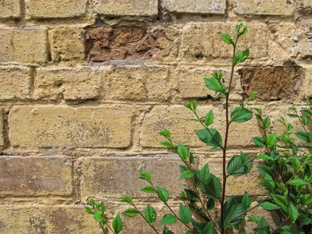 Young sprig of elm Ulmus minor with green foliage against a yellow-brown brick wall. Beautiful floral vintage background-template with large copy space Stok Fotoğraf