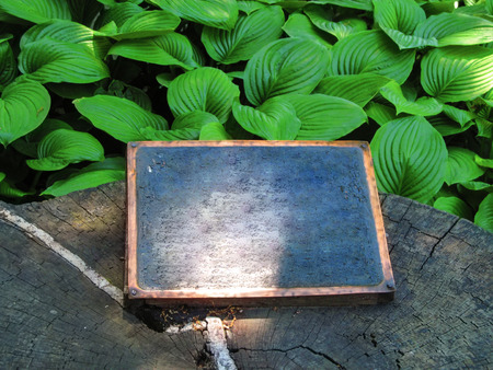 The bright green leaves of the Hosta plant around an old stump with a blank wooden table-sign on it. Creative floral background of the plantain lilies with copy space Stok Fotoğraf