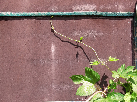 Young twig of grapes with a curly stem on the backdrop of a brown metal wall. Minimalist floral frame-template with copy space for text, beautiful natural background