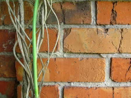 Twisted dry branches of the vine from the side against the orange-red brick wall. Creative natural background with copy space for text, the template in the male restrained minimal style Stok Fotoğraf