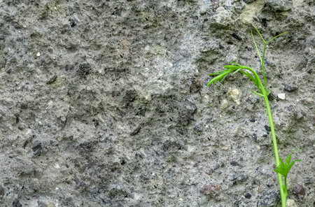 A tender young green stalk against a gray surface of the rough concrete wall. The concept of the desire to live, creative minimalistic background with copy space for text