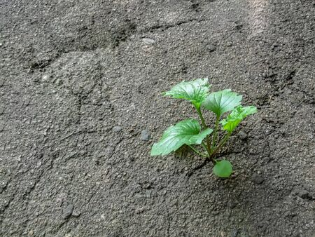 Lonely green plant growing through the asphalt. Concept of fortitude, desire to survive - background with copy space