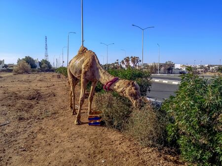 Camel eating grass in the wasteland. Alone dromedary eats on the side of the road in Sharm El Sheikh (Egypt)
