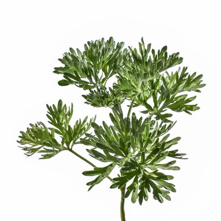 Young green juicy wormwood stalk with lush foliage, close-up, isolated on a white background. Raster clipart of a medical wild Artemisia absinthium plant