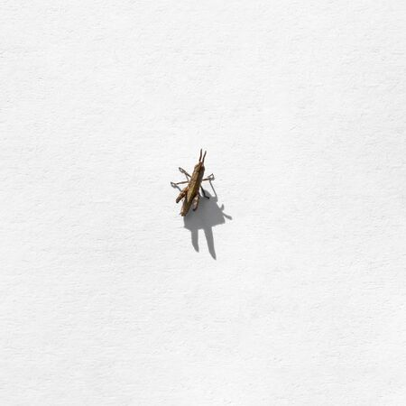Small brown grasshopper (Tettigoniidae) isolated on white textured sheet of paper, top view. A miniature insect on a sunny day casts a shadow on a light surface