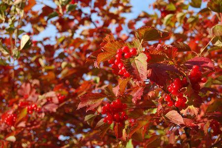 red bush: red bush