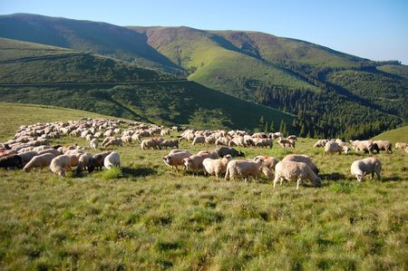 fagaras: sheeps and green pasture, fagaras mountains, the carpathians Stock Photo