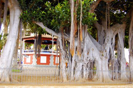 tenerife: old tree in tenerife, spain Stock Photo