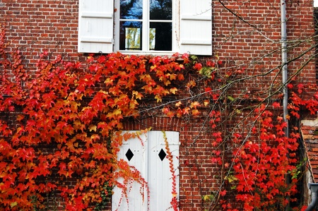 red ivy on an old house, france photo