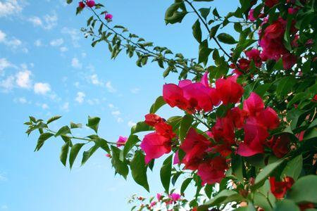 medium shot: Medium shot of Bougainvillea plant with sky as background