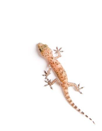Studio photo de gecko sur fond blanc