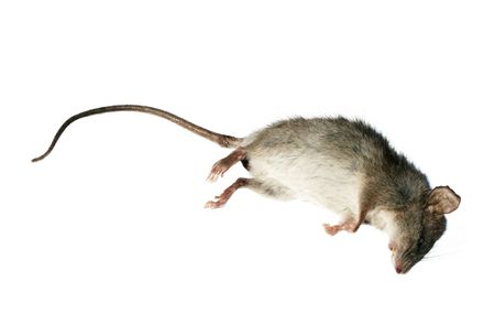 Stock image of dead rat isolated on white