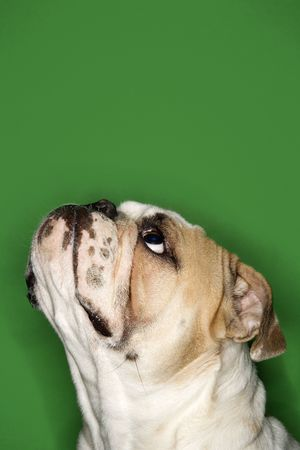 Close-up side view of English Bulldog on green background.