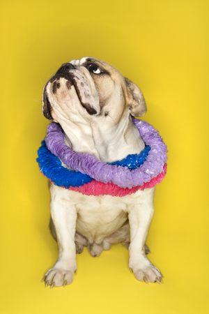 leis: Bulldog inglese indossare lei seduta su sfondo giallo.