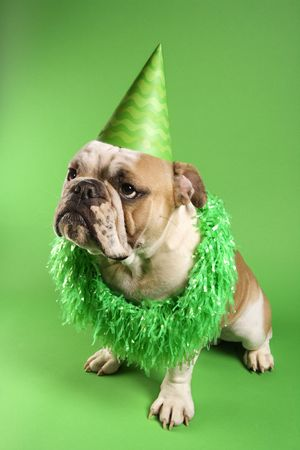 English Bulldog with serious expression wearing lei and party hat and sitting on green background. photo