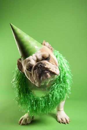 English Bulldog with curious expression wearing lei and party hat and sitting on green background. Stock Photo - 1795719