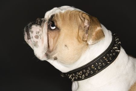 spiked: Bulldog in spiked collar. Stock Photo