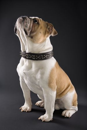 Sitting English Bulldog wearing spiked collar and looking upward.