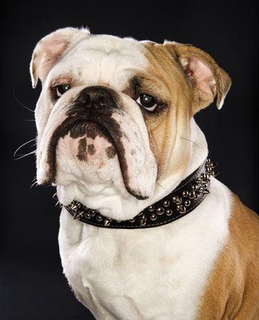 �spiked: Bulldog Ingl�s grave el uso de collar de pinchos.