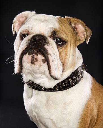 spiked: Serious English Bulldog wearing spiked collar. Stock Photo