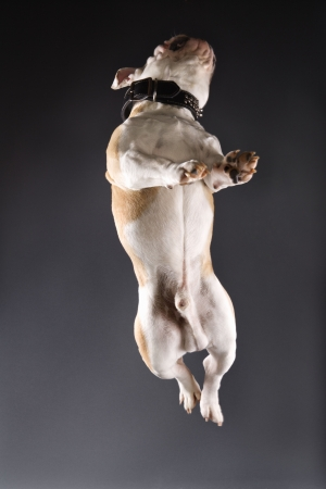 English Bulldog on grey background jumping into the air. photo
