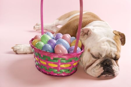 Close-up of sleeping English Bulldog next to Easter basket on pink background. photo