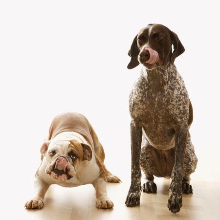 bajo y fornido: Bulldog Ingl�s y alem�n Shorthaired Pointer sesi�n lamiendo labios.
