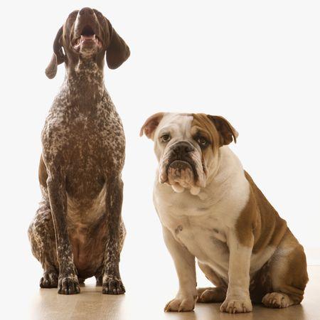 English Bulldog and German Shorthaired Pointer sitting. photo
