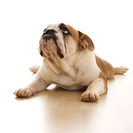 bajo y fornido: Bulldog Ingl�s en el piso.  Foto de archivo