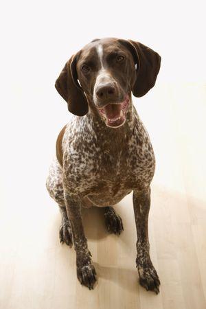 shorthaired: Shorthaired Pointer alem�n de perro sentado y levantando los ojos al espectador.  Foto de archivo