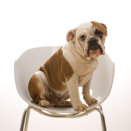 stocky: English Bulldog sitting in modern chair looking at viewer.