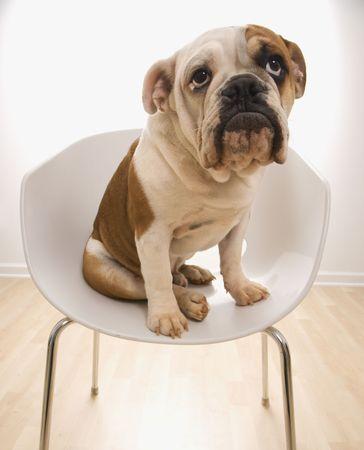 quizzical: Bulldog Ingl�s moderno sentado en silla buscando.