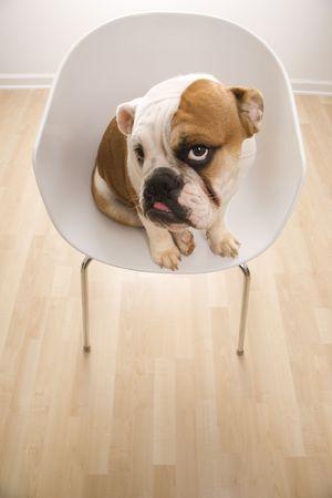 Bashful English Bulldog sitting in modern chair looking up at viewer. photo