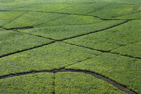 irrigated: Aerial view of irrigated sugarcane crops in Maui, Hawaii.
