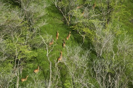 Aerial view of herd of running spotted deer in Maui, Hawaii. Stock Photo - 1821321