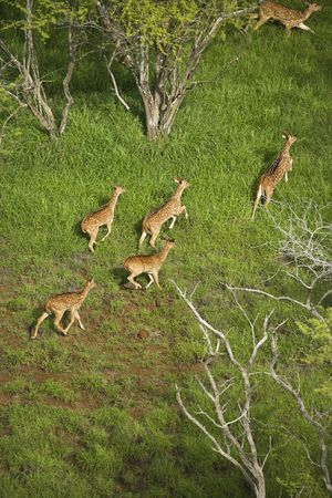 spotted: Spotted deer aerial. Stock Photo