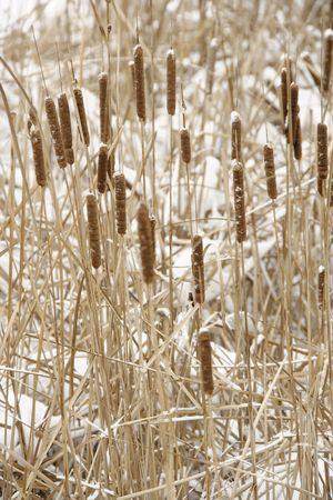 bullrush: Bullrush plants in snow.