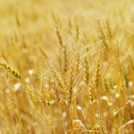 cropland: Golden field of wheat ready for harvest.