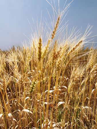 cropland: Field of wheat ready for harvest against blue sky. Stock Photo