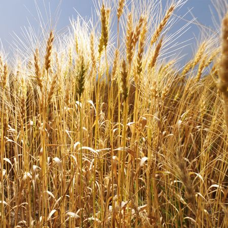cropland: Field of wheat.