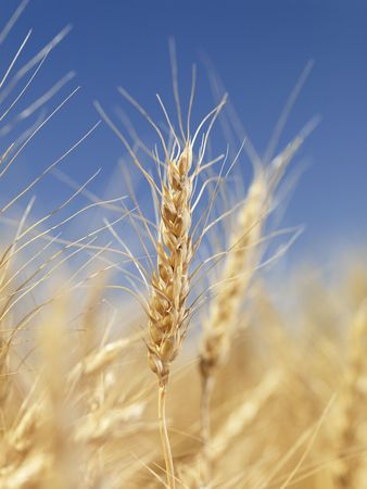 Close up view of wheat field ready for harvest. photo