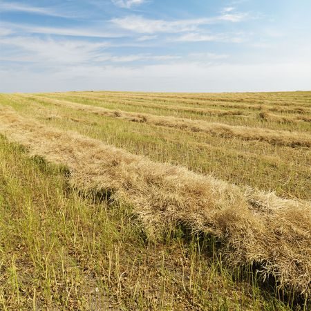 american midwest: Flax plant crop during harvest in the American midwest. Stock Photo